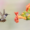 Male Black-chinned Hummingbird at Trumpet Vine