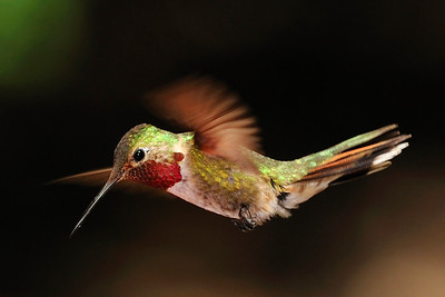 Male Broad-Tailed Hummingbird, Selasphorus platycercus, Ramsey Canyon AZ
