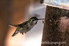 Hummiingbird