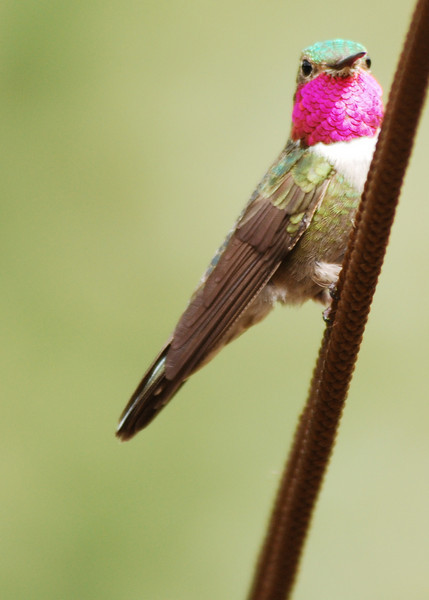 Hummingbird near Silverton Colorado
