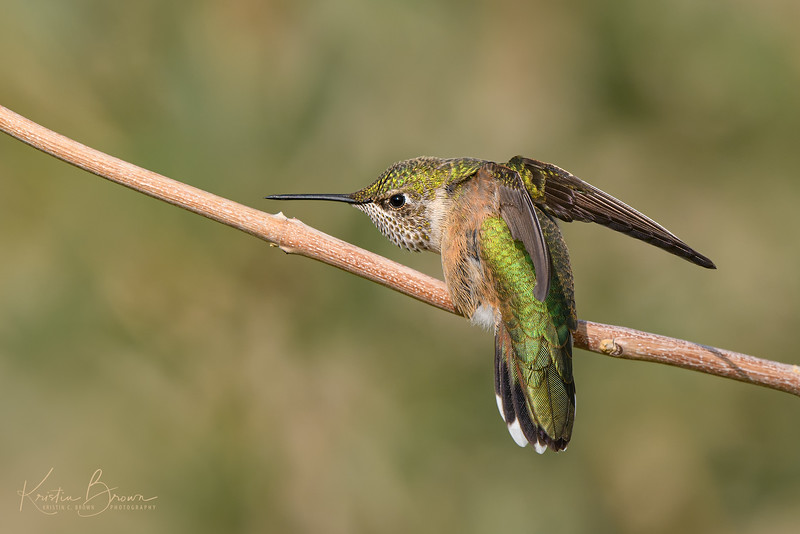 Posing Female or Juvenile Rufous Hummingbird