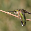 Posing Female or Juvenile Rufous Hummingbird