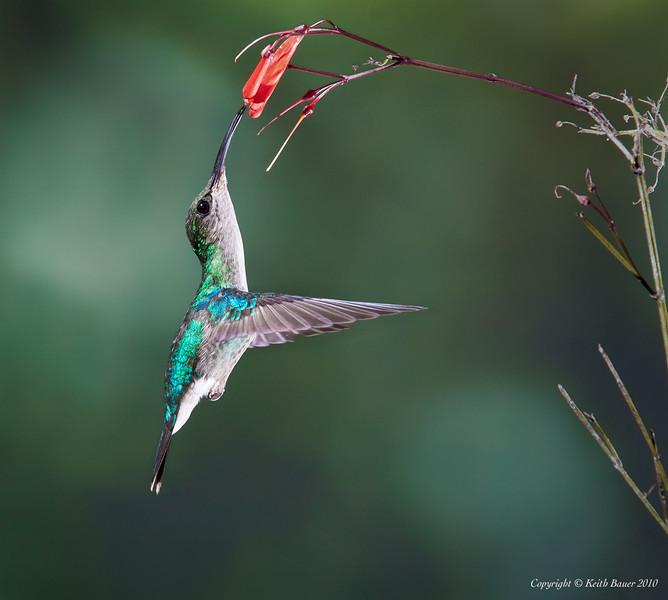Female Violet Crowned Woodnymph Hummingbird