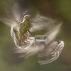 Slow Shutter Hummingbirds Study 1