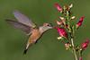Broad-tailed Hummingbird female feeding.