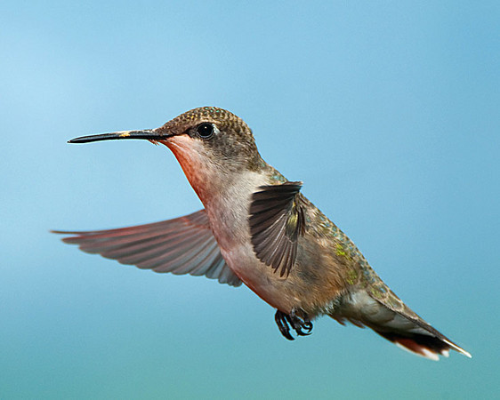 Hummingbirds-DSC_4123