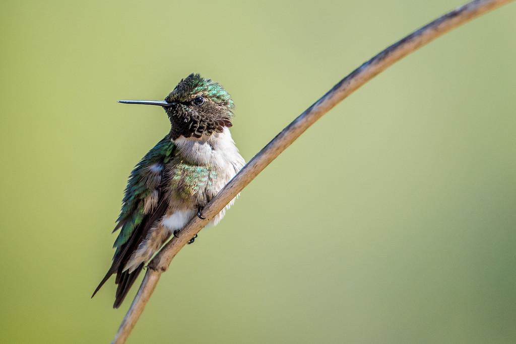 """HUMMINGBIRDS 5393<br /> <br /> """"Spring Hummingbird"""""""