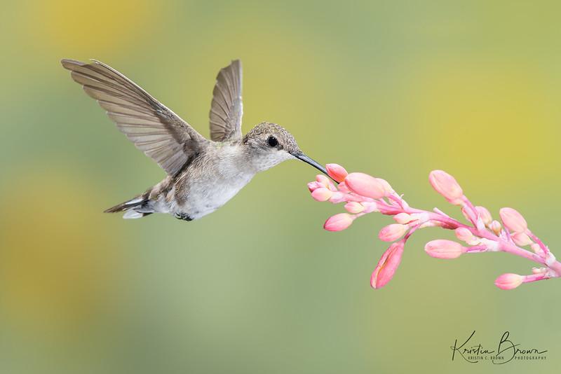 Female Broad-tailed Hummingbird Feeding at Pink Yucca