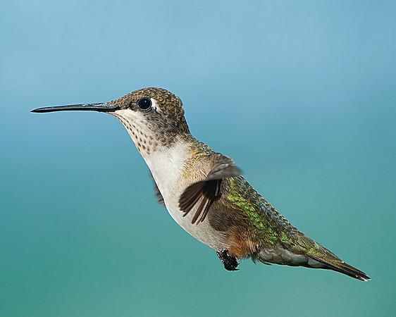 Hummingbirds-DSC_4062
