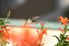 Hummingbird_Playing_285