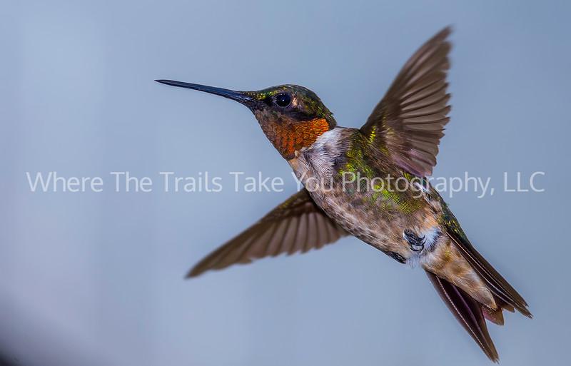 Ruby-Throated Hummingbird CROP