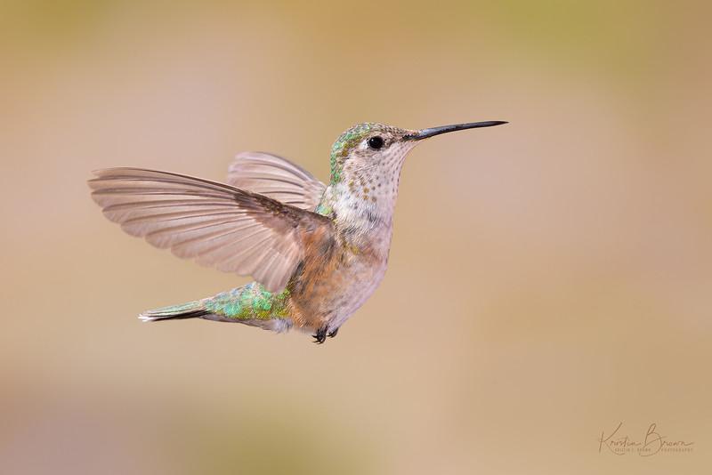 Female vs. Immature Rufous Hummingbird