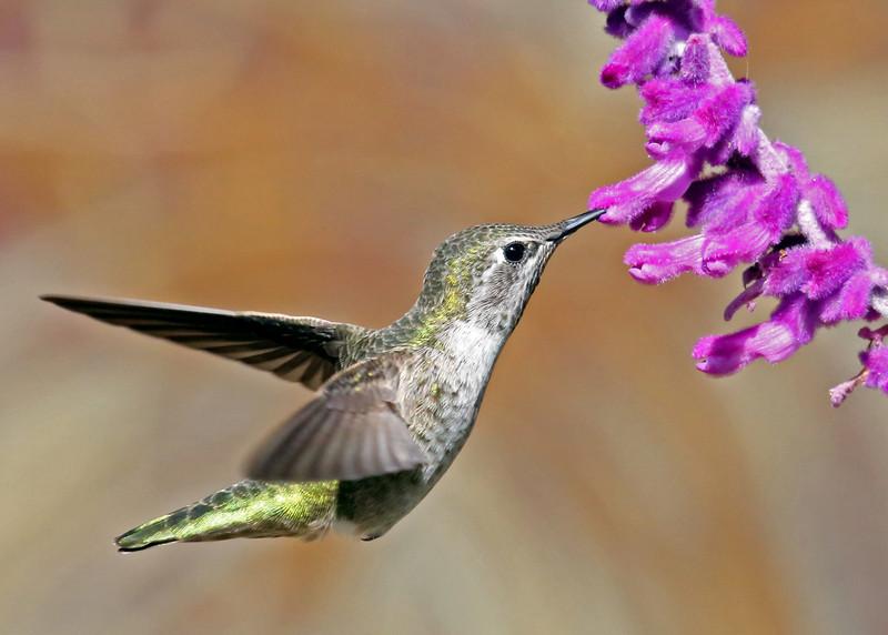 Hummingbird in my back yard.