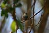 Hummingbird_Playing_324
