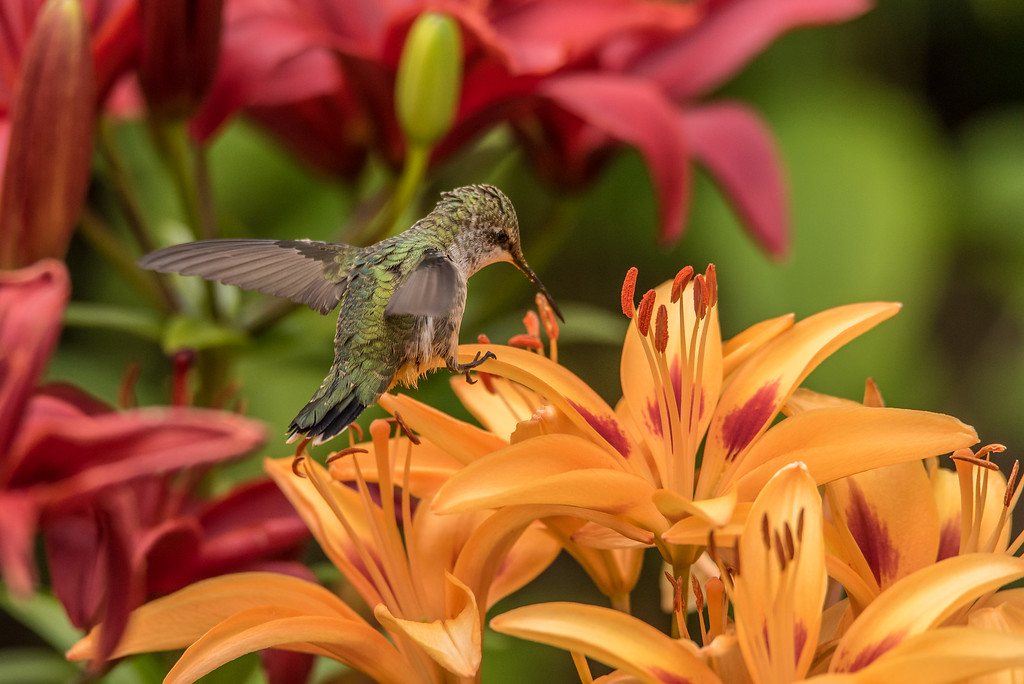 "HUMMINGBIRDS 7979<br /> <br /> ""Hummingbird in the Lily Garden""<br /> <br /> Grand Portage, MN"