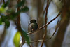 Hummingbird_Playing_325