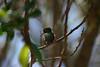 Hummingbird_Playing_325