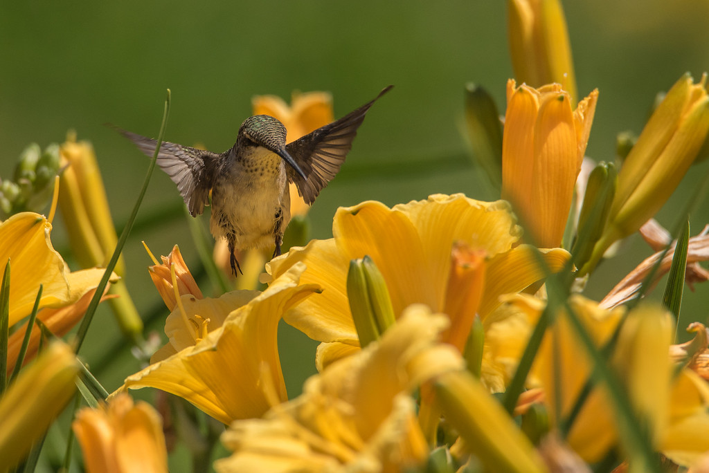 "HUMMINGBIRDS 8261<br /> <br /> ""Hummingbird in the Lily Garden""<br /> <br /> Grand Portage, MN"