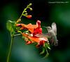 Female Black Chinned Hummingbird - Trumpet Vine