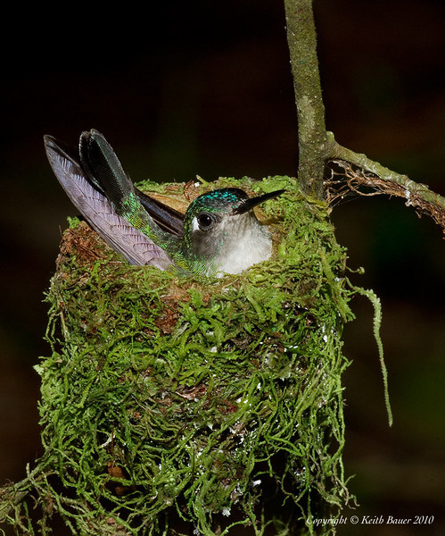 Violet Headed Hummingbird On the Nest