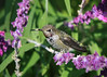 Hummingbird resting in Mexican Sage.