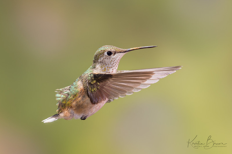Female Rufous Hummingbird Growing a New Tail