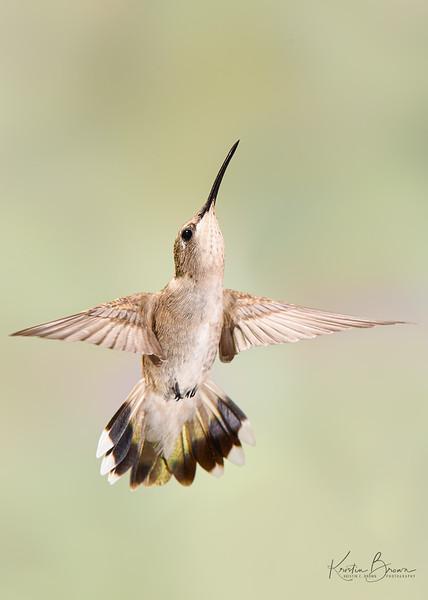 Female Broad-tailed Hummingbird Defending her Feeder Spot