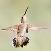 Female Broad-tailed Hummingbird Defending her Feeder Spot