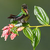 Cheeky Fiery Throated Hummingbird
