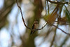 Hummingbird_Playing_315