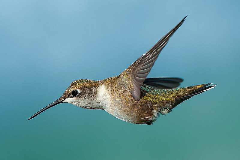 Hummingbirds-DSC_4075