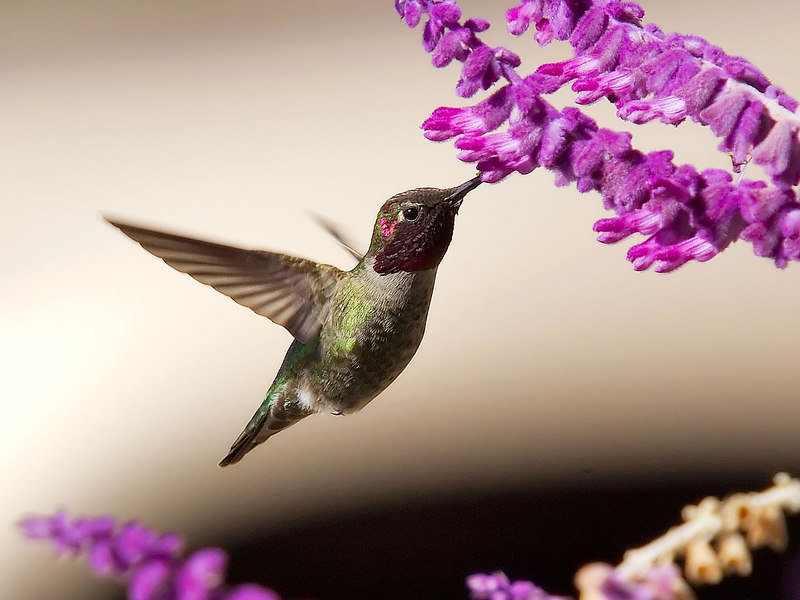 Hummingbird feeding on Mexican Sage.