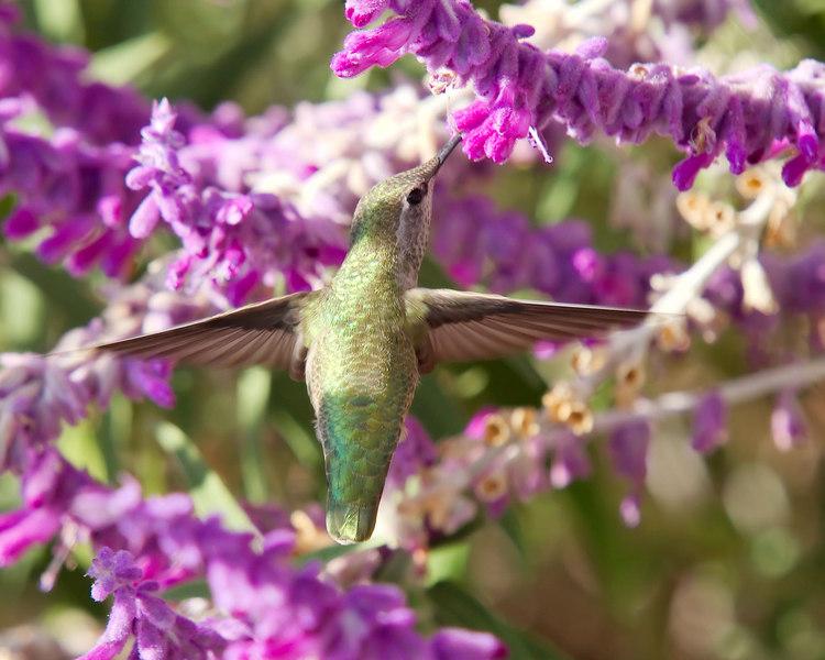 Hummingbird feeding on Mexican Sage.