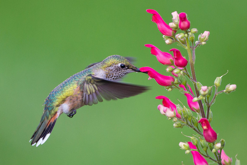 Broad-tailed Hummingbird female.