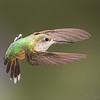 Female Broad-tailed Hummingbird