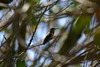 Hummingbird_Playing_321