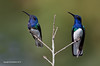 Adult and Juvenile Male White Necked Jacobins