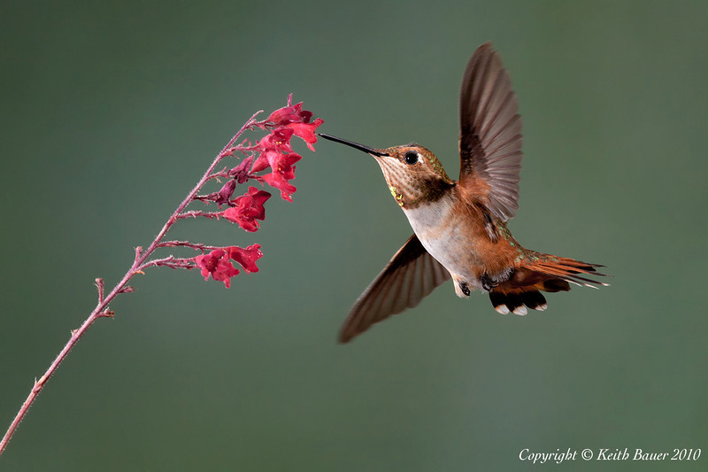 Male Rufous Hummingbird #2
