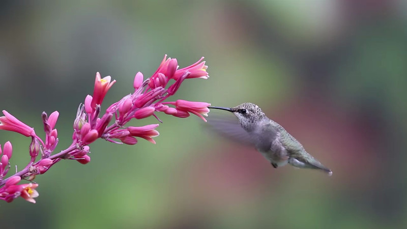 Video Clips of hummingbirds feeding from a Texas Red Yucca - Turn on your speakers :-)