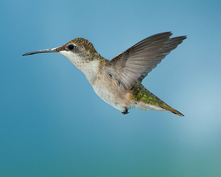 Hummingbirds-DSC_4156