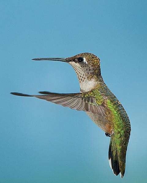Hummingbirds-DSC_4190