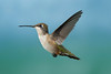 Hummingbirds-DSC_4061