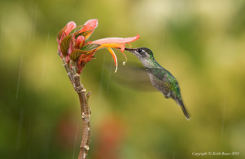 Female Magnificent Hummingbird in the rain