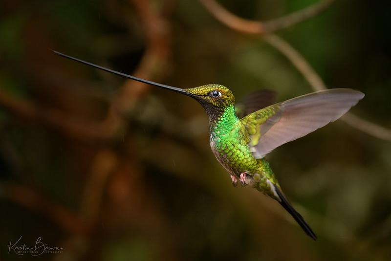 Forest Male Sword-billed Hummingbird