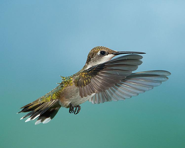Hummingbirds-DSC_4134