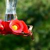 Hummingbirds Aug 2013 (5)-001