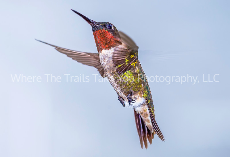 Ruby Red In Flight
