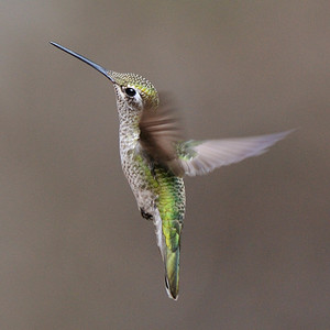 Female Magnificent Hummingbird  Eugenes fulgens , Ramsey Canyon AZ