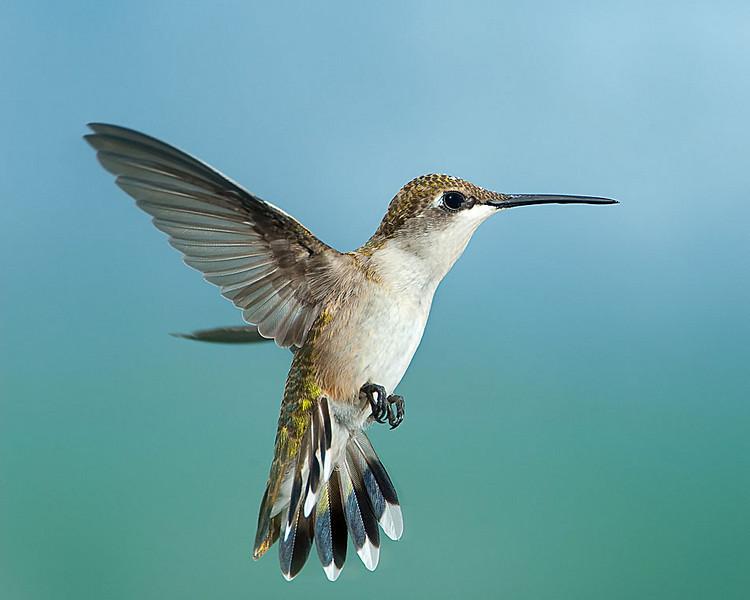Hummingbirds-DSC_4107