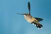 Hummingbirds-DSC_4208-NC